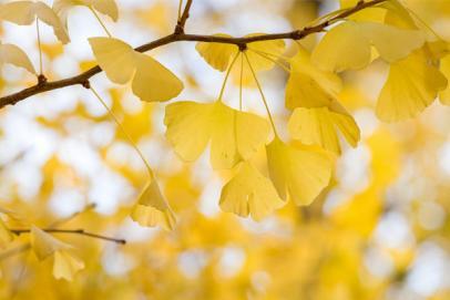 Le ginkgo biloba : l'arbre de vie