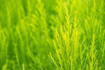 Shatavari, l'herbe aimée des femmes